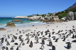 Boulders Beach penguins, Simonstown. 58km from Protea Retreat